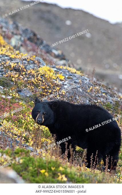 A Black Bear foraging for berries on the tundra near the Harding Icefield Trail at Exit Glacier, Kenai Fjords National Park, Autumn