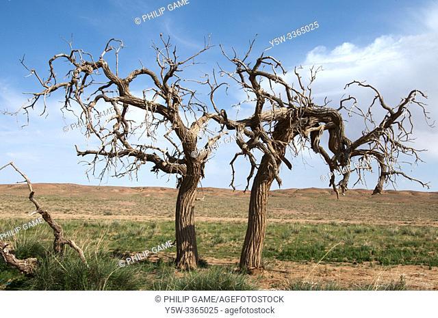 Siberian elms struggle to survive along a watercourse in the Gobi Desert, Mongolia