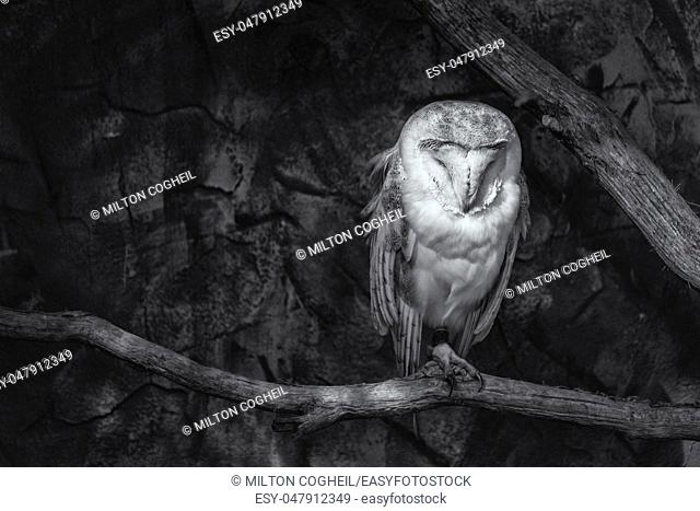 Black and white image of a Barn owl (Tyto alba) sitting on a perch