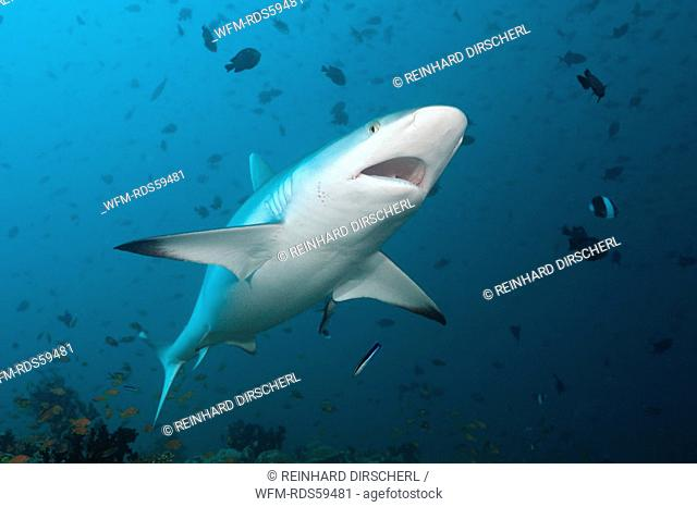 Grey Reef Shark with open Mouth, Carcharhinus amblyrhynchos, Hafsaa Thila, North Ari Atoll, Maldives