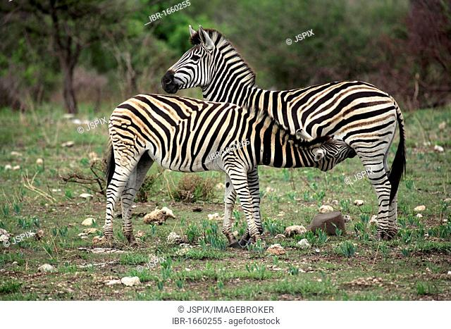 Plains Zebra, Burchell's Zebra (Equus quagga), female adult with suckling young, Kruger National Park, South Africa, Africa