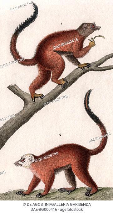 1 White-headed lemur, female (Eulemur albifrons), 2 White-headed lemur, female, colour copper engraving, retouched in watercolour, 9x15 cm