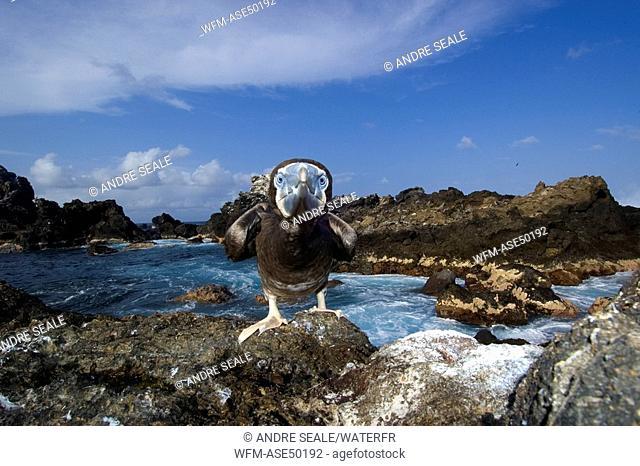 Brown booby, attacking, Sula leucogaster, Saint Peter and Saint Paul Rocks, Atlantic Ocean, Brazil