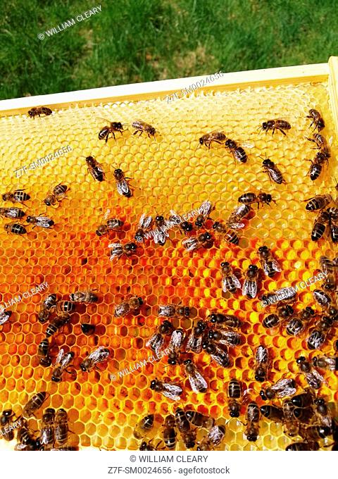 Honeybees on a comb which contains colourful pollen stores