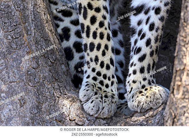Detail of African leopard (Panthera pardus pardus) legs in a tree. Ruaha National Park. Tanzania
