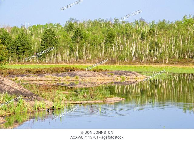 Rock outcrops and spring foliage in a beaverpond with a pair of mallards, Greater Sudbury, Ontario, Canada
