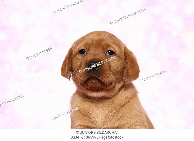 Labrador Retriever. Portrait of a puppy (6 weeks old). Studio picture seen against a pink background. Germany