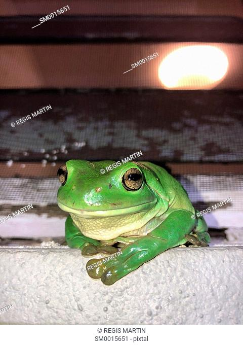 Green tree frog sitting on a windowsill and looking at the camera