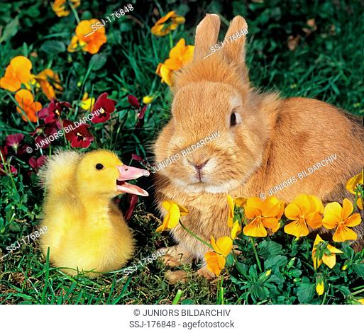 Domestic duck. Quacking duckling standing next to a orange domestic rabbit in a garden with flowering Horned Violets