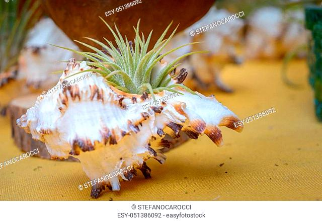 Nice composition of Tillandsia, species of evergreen, perennial flowering plants in the family Bromeliaceae, native to the forests