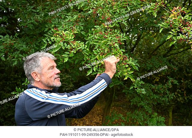04 October 2019, Lower Saxony, Winkelsett: Frits Deemter, owner of the dining garden, stands on a Szechuan pepper bush. Pepper is a spicy tasting spice and not...