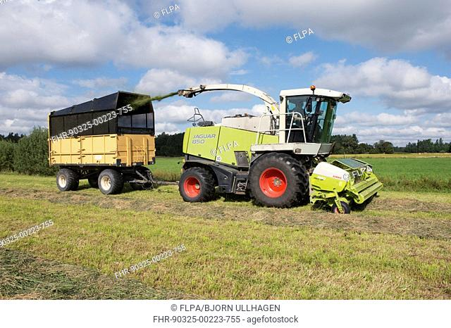 Forage harvesting silage, Claas Jaguar 850 forage harvester cutting grass and loading wagon, Alunda, Uppsala, Sweden, August