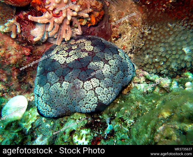 Großer Kissenseestern (Culcita novaeguineae), Pintuyan, Panaon Island, Southern Leyte, Philippinen
