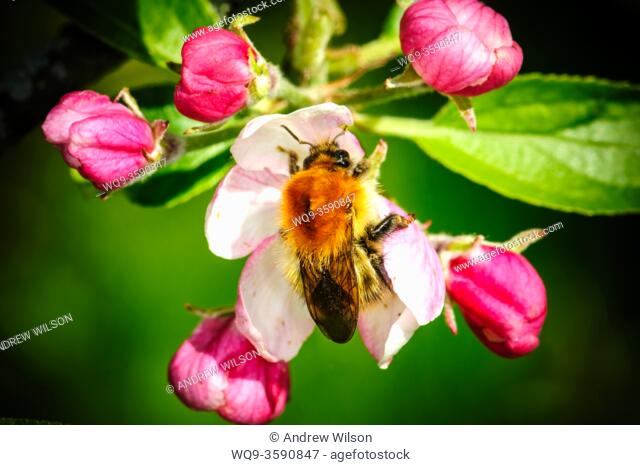 A bee getting pollen from apple blossom in springtime in a garden in South Lanarkshire, Scotland