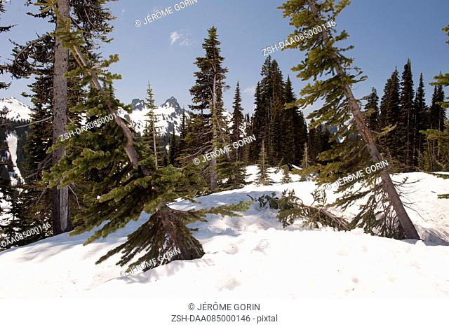 Evergreen trees leaning in deep snow, Mount Rainier National Park, Washington, USA
