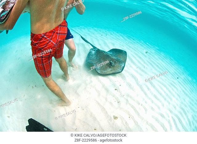 Tourists bath in blue clean Caribbean waters unaware that southern stingrays ( Dasyatis americana ) swim beneath