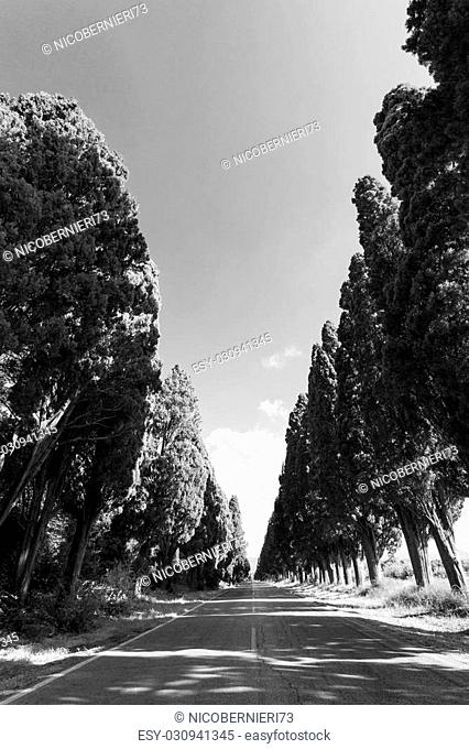 Cypress avenue of Saint Guido, Bolgheri Tuscan IT- November 2, 2014. View of the cypress avenue of Saint Guido in black and white