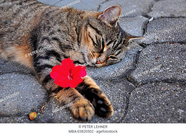 Cat, striped, rest on plasters, flower