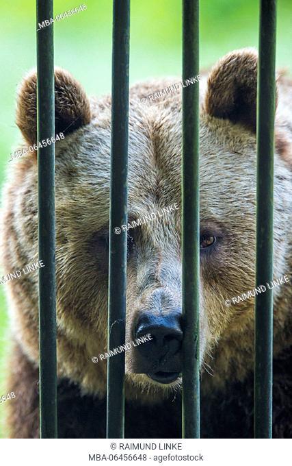 European Brown Bear, Ursus arctos, in the cage, Germany