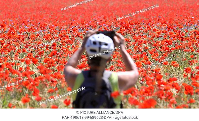 17 June 2019, Mecklenburg-Western Pomerania, Bad Doberan: In a field with barley, red poppy also grows, a cyclist photographs the colourful spectacle