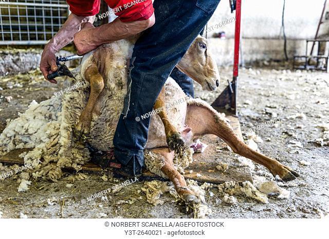 Europe. France. Bouches-du Rhone. Sheep shearing
