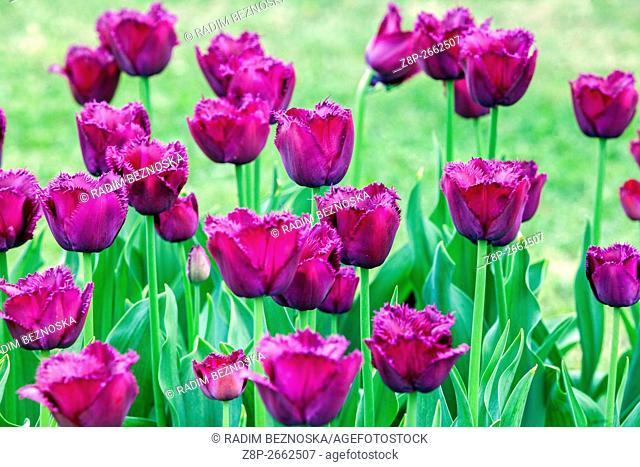 The beauty of blooming tulips, Tulipa crispa 'Gorilla'
