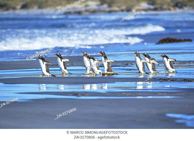 Gentoo Penguins (Pygocelis papua papua) walking on the beach, Sea Lion Island, Falkland Islands,