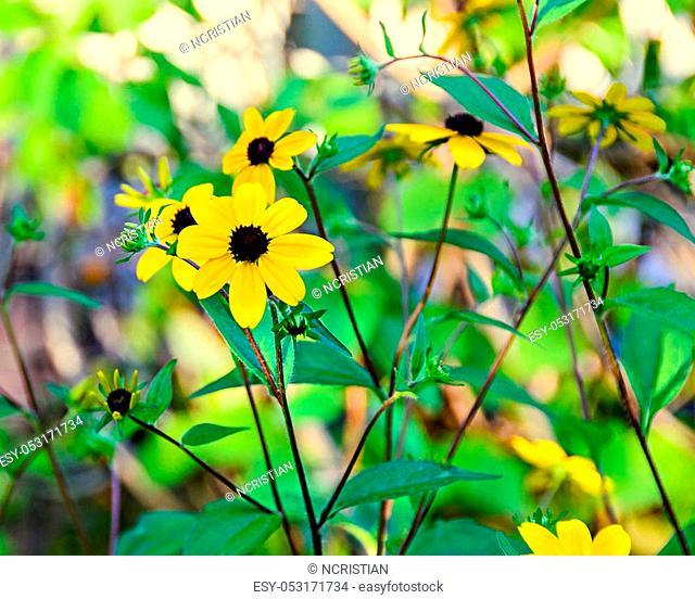 Rudbeckia triloba yellow flowers (browneyed Susan, brown-eyed Susan, thin-leaved coneflower, three-leaved coneflower)