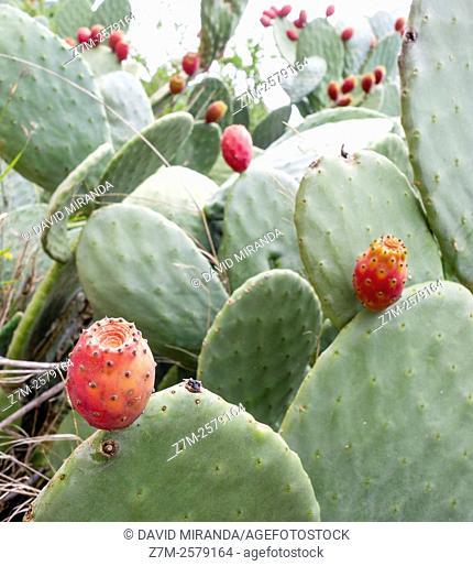 Higos chumbos, Prickly Pear,  Coria, Cáceres province, Extremadura, Spain