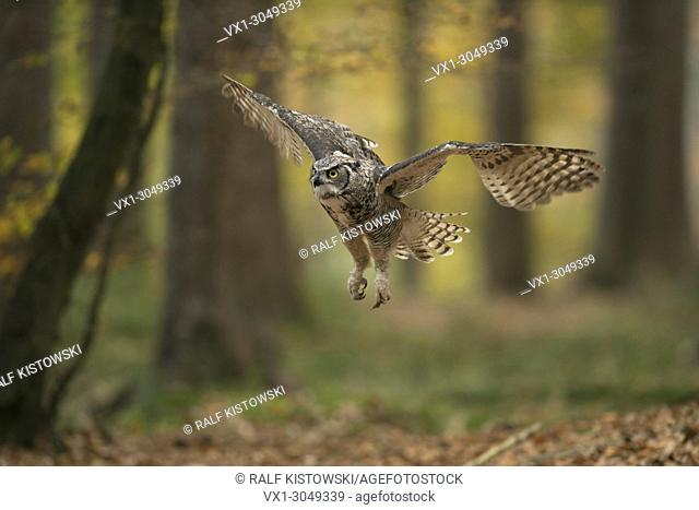 Great Horned Owl / Tiger Owl ( Bubo virginianus ) flying through a autumnal coloured woods, golden October