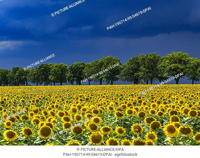 13 July 2019, Brandenburg, Petersdorf: Thunderstorm clouds are streaming across the landscape with a field of sunflowers in the Oder-Spree district