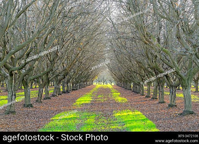Walnut cultivation. Valdebótoa. Badajoz province. Extremadura. Spain