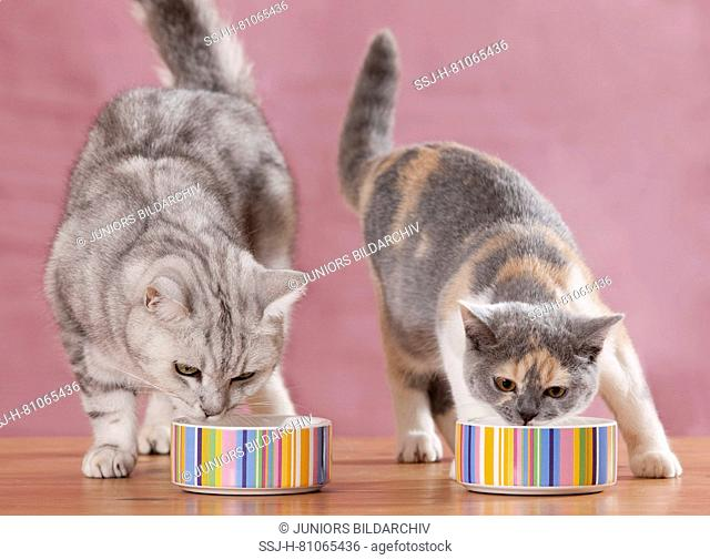 British Shorthair. Adult and juvenile cat eating from multicoloured food bowls. Germany