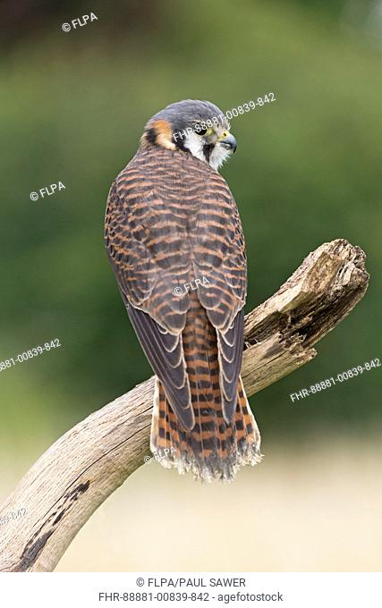 American Kestrel (Falco sparverius) adult female, perched on branch, controlled subject