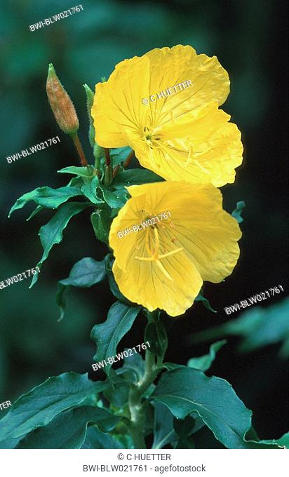 golden sundrops Oenothera tetragona