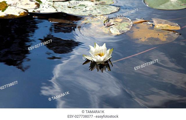 Water lily Nymphaea tetragona on lake surface