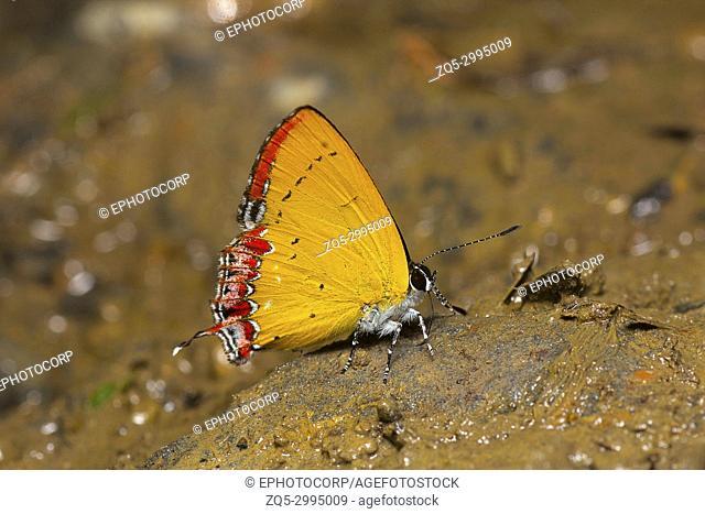 Indian Purple Sapphire butterfly, Heliophorus indicus, Satakha, Nagaland, India