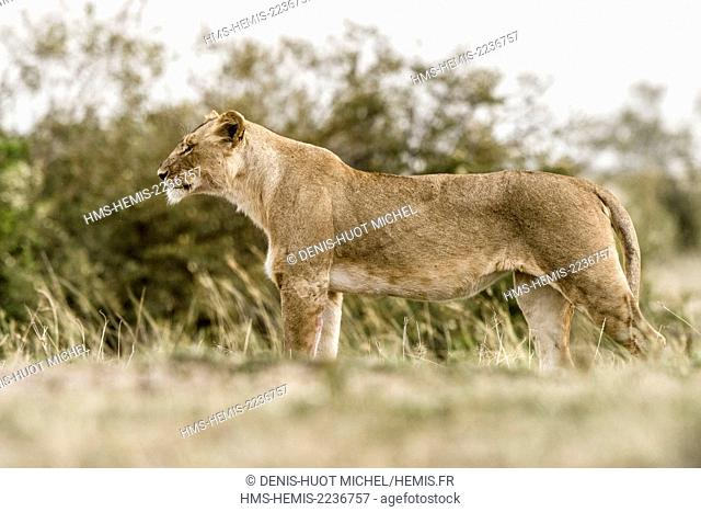 Kenya, Masai-Mara Game Reserve, lion (Panthera leo), female