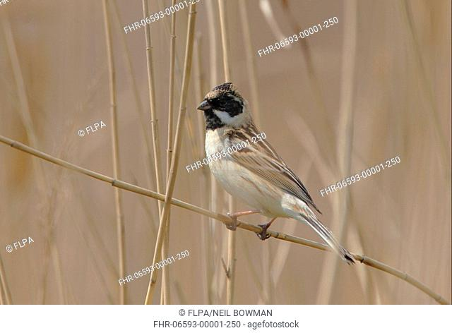Pallas's Reed Bunting Emberiza pallasi adult male, moulting into breeding plumage, perched on reed stem, Beidaihe, Hebei, China, may