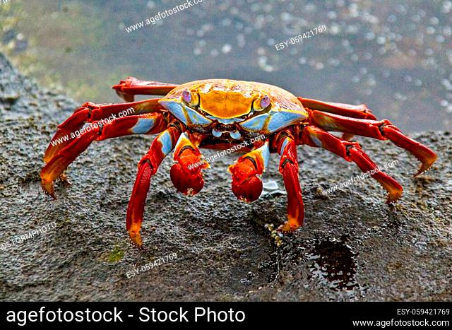 Sally Lightfoot crab on Galapagos Islands red