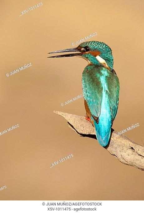 Kingfisher (Alcedo atthis). Andalucía. Spain