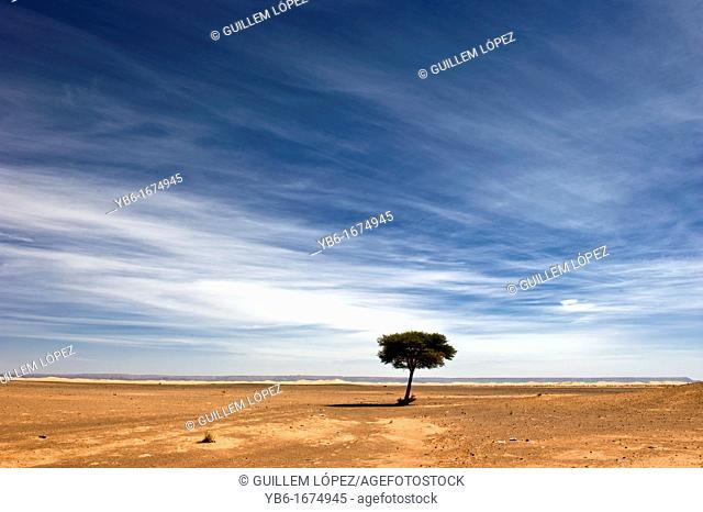 Lonely tree in the Sahara desert, Merzouga, Morocco