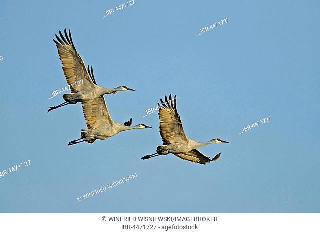 Sandhill cranes (Grus canadensis) in flight, Bosque del Apache, New Mexico, USA