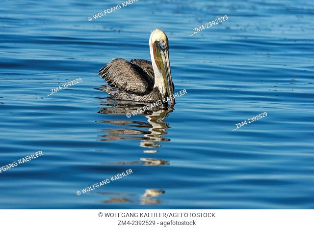 A Brown pelican (Pelecanus occidentalis) is swimming in the bay of Aqua Verde, a small fishing village near Loreto, Sea of Cortez in Baja California, Mexico