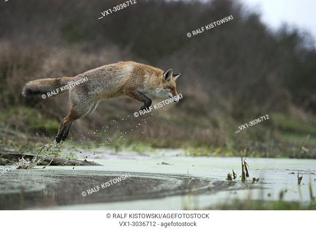 Red Fox ( Vulpes vulpes ), adult in winterfur, jumping over a little creek in a swamp, far and high jump, hunting, wildlife, Europe