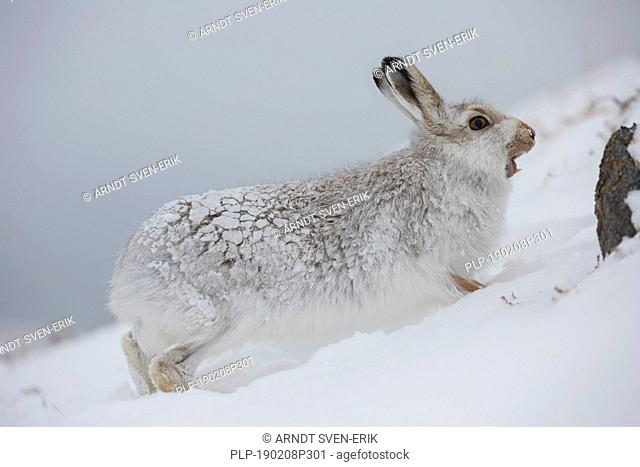 Mountain hare / Alpine hare / snow hare (Lepus timidus) in white winter pelage calling in the Scottish Highlands, Scotland, UK