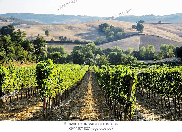 Vineyard landscape below the famous wine town of Montepulciano, Tuscany, Italy  September