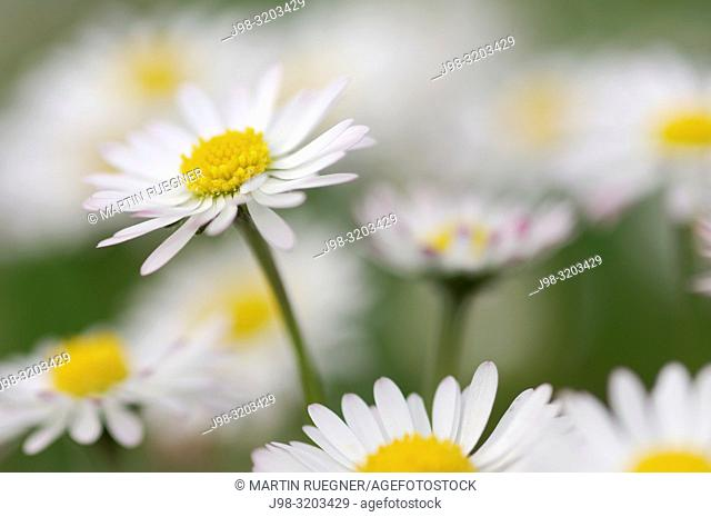 Daisy (Bellis perennis. Bavaria, Germany