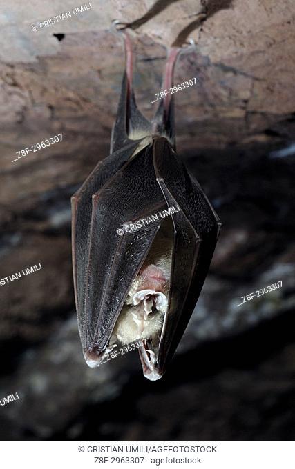 Bat, Rhinolophus ferrumequinum in a mine, Val Graveglia, Liguria, Italy