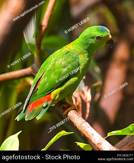 Blue-Crowned Hanging Parrot on Branch